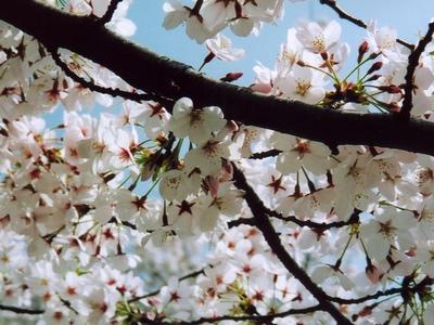 千鳥ヶ淵公園の桜・接写その2