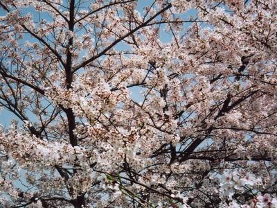 千鳥ヶ淵公園の桜・満開。