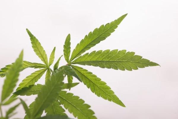 【多発性硬化症】医療用大麻に関する研究の進歩と課題