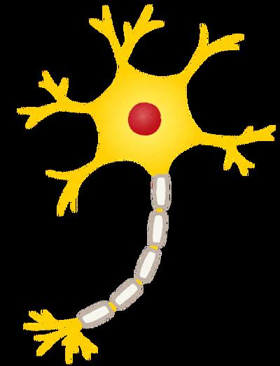 多発性硬化症の治療につながる神経細胞のミエリン回復メカニズムが解明される