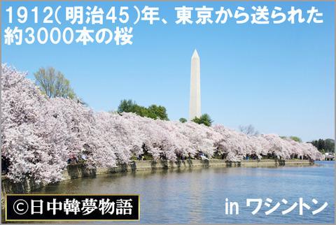 1912(明治45)年、東京から送られた約3000本の桜