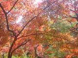 京都の紅葉情報2008年 紅葉時期