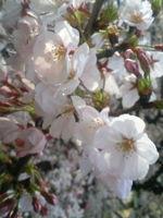 2009年4月【桜】目黒川沿いの桜まつり