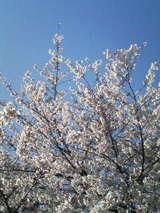 桜 2009年 お花見 全国の桜名所情報