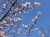桜170404