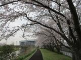 桜170410