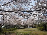 桜190405-3