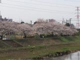 180327桜2
