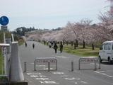 桜190405-2