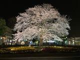 20210322桜