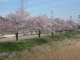 桜190405-1