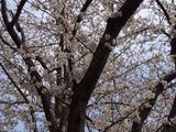 180327桜1