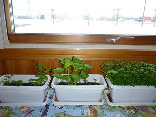 家庭内菜園