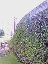 20070819_marubi_asagao1