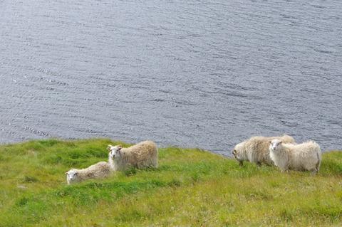 Ice sheep4