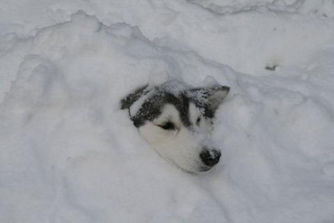 ハスキー犬4