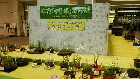 2015さぎ草栽培展 3