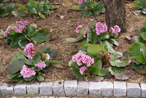 s-ヒマラヤユキノシタの可憐な花。早春の妖精です。