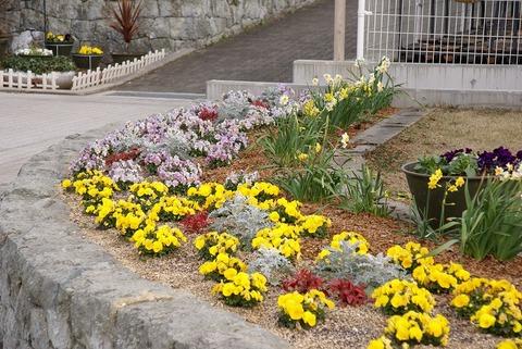 s-ビオラとスイセンの花壇。白い葉はシロタエギク。