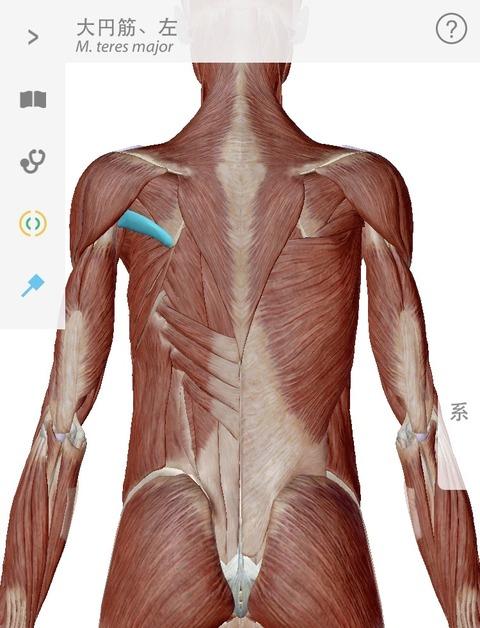 大円筋の解剖学