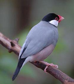 250px-Buberel_Unknown_bird_3