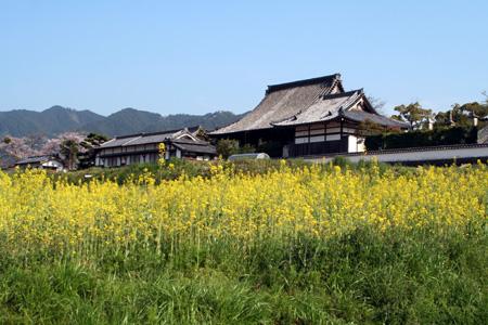 橘寺と菜の花