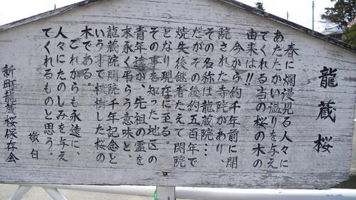 龍蔵桜 (2)