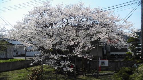 伊豆の権現桜 (4)