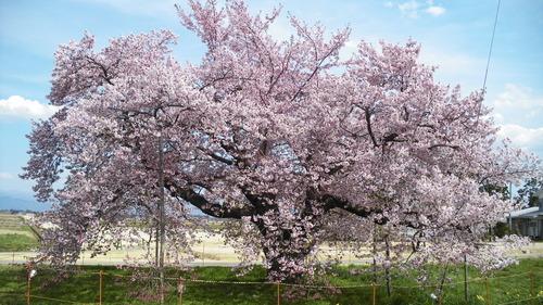 龍蔵桜 (1)