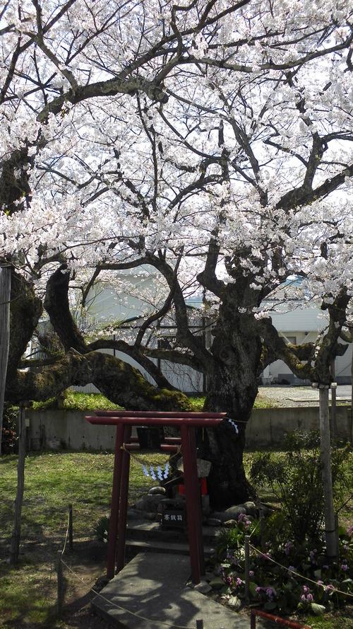 伊豆の権現桜 (3)