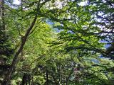 ブナ立尾根の緑