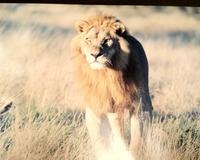 ライオン−2