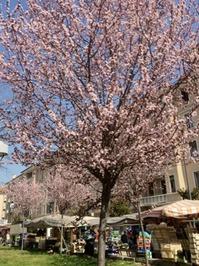 2012ミラノの桜