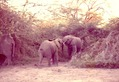 x - Elephants 2