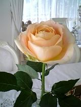 キャラメルアンティークの薔薇