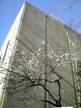 2008白梅