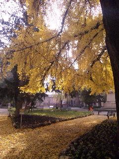 2010晩秋のいちょうの彩り