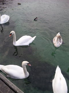 レマン湖の白鳥