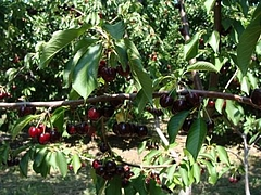 Fruits at Brentwood 9