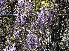 2009 Flowers in Berkeley_ 9