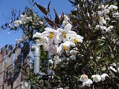 Flowers in Berkeley 2009_ 8