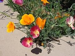 Flowers in Berkeley 2009_ 6