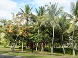 オアフ島の街並みの樹木