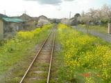 菜の花(いすみ鉄道)