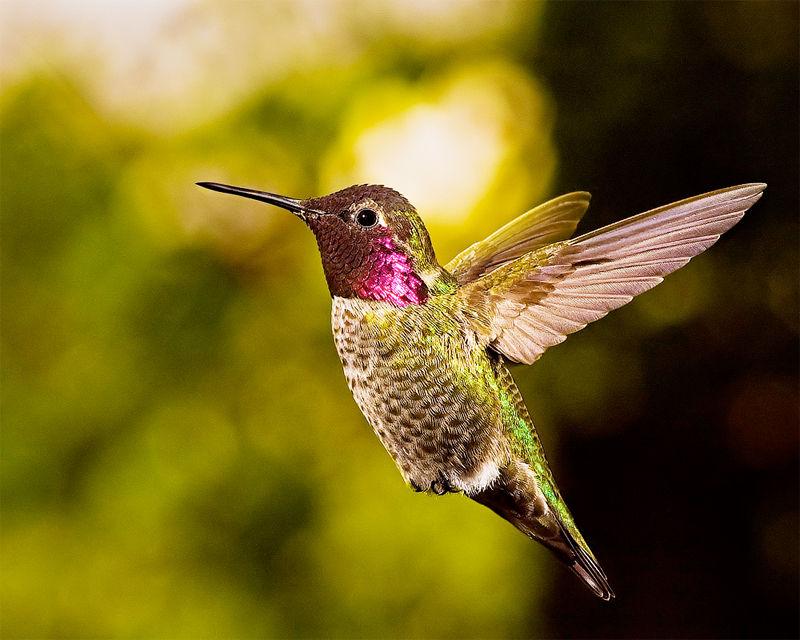 ハチドリの画像 p1_40