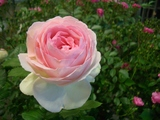 父さんのバラ淡ピンク