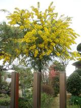 アカシアの木1