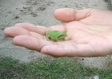 ちびカエル