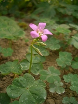 雑草の花1