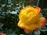 父さんのバラ黄